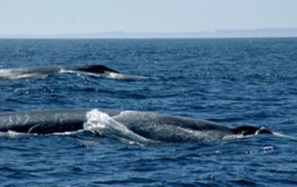 Portland whale4